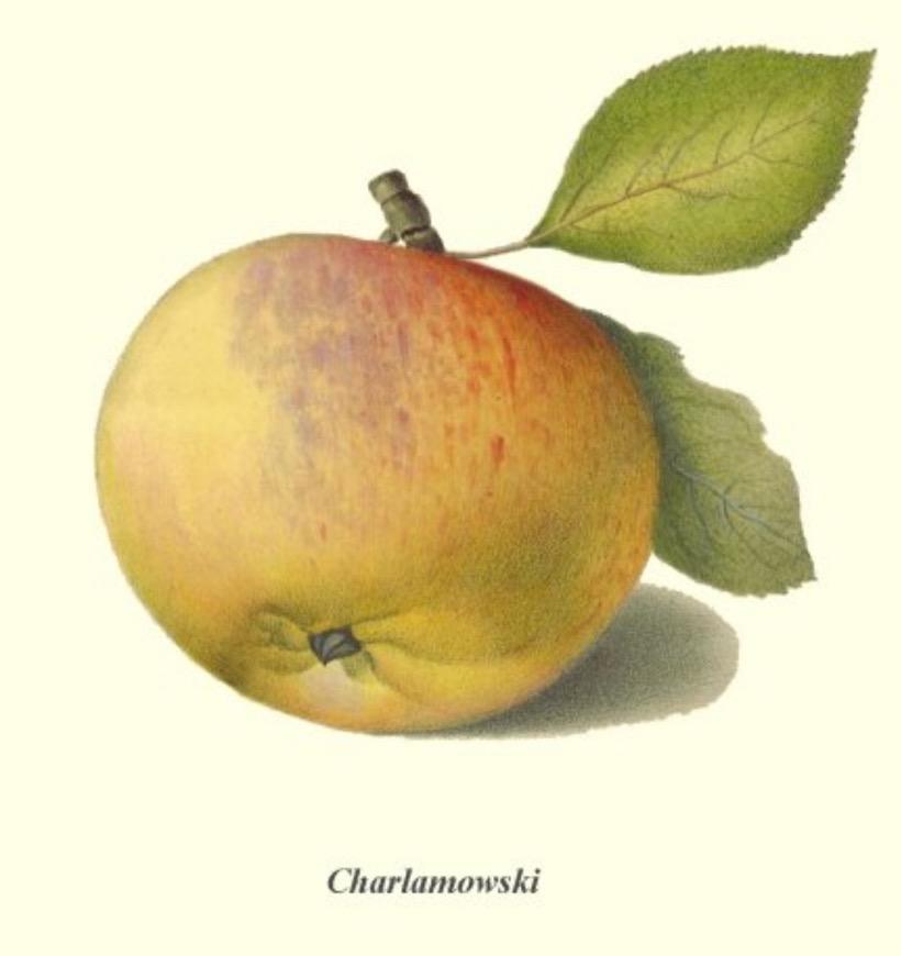 Historische Abbildung eines gelblich-rötlichen Apfels mit Stiel und Blatt; BUND Lemgo Obstsortendatenbank