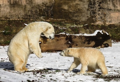 ein erwachsener und ein junger Eisbär tollen auf einer Rasenflächemit schmelzendem Schnee herum