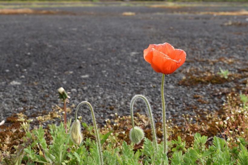 Eine Mohnblüte am Straßenrand