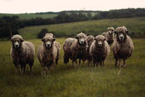 Schafe auf einer Weide, schauen zur Kamera