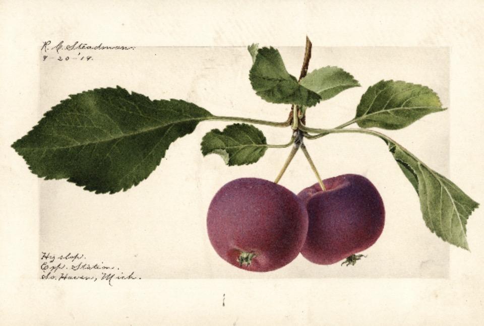 Historische Abbildung von zwei dunkelroten Äpfel, die an einem Zweig mit Blättern hängen; USDA