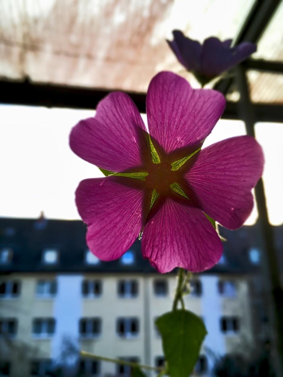 Eine rosa Malve nah, im Hintergrund unscharf ein Haus